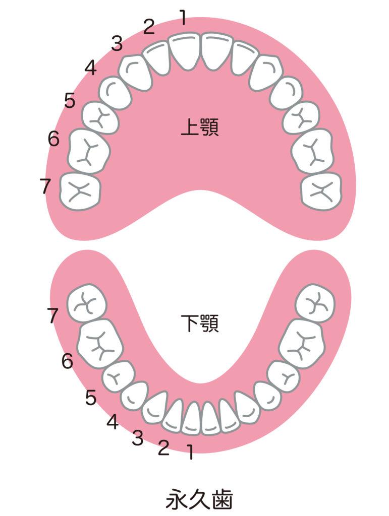 歯の本数の図解